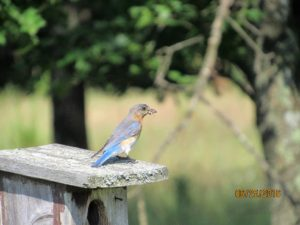 Bluebird Trial 6-25-16, Adult Bluebird