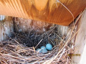 Bluebird Trial 6-25-16, Bluebird eggs in nest