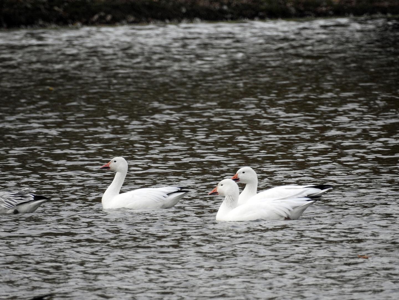 Snow Goose, Dorchester, WI